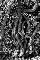Ivy Roots